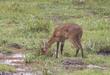 Reedbuck In Amboseli CN4F8161.jpg