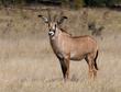 Roan Antelope 259A8012.jpg