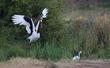 Saddle Bill Stork CN4F0306.jpg