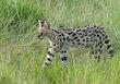 Serval walking In Grass.jpg