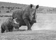 White Rhino and Young BW.jpg