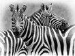 Zebra Pair-BW version.jpg