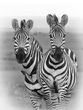 Zebra Two-some with Ox Peckers BW.jpg