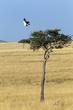 secretary-bird-taking-flight.jpg