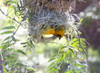 social weaver coming out of nest 164A2359s.jpg