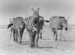 zebra-family walking.jpg