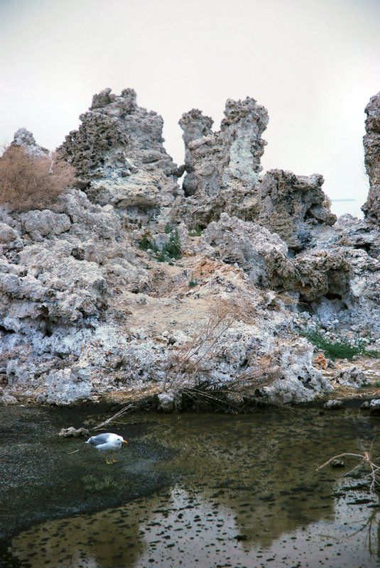 Mono Lake 3.jpg :: Tufa towers, gulls, grebes, brine shrimp, alkali flies, freshwater streams, and alkaline waters comprise an unlikely world at the transition between the Sierra Nevada mountains and the Great Basin desert. The lake provides a food chain. .