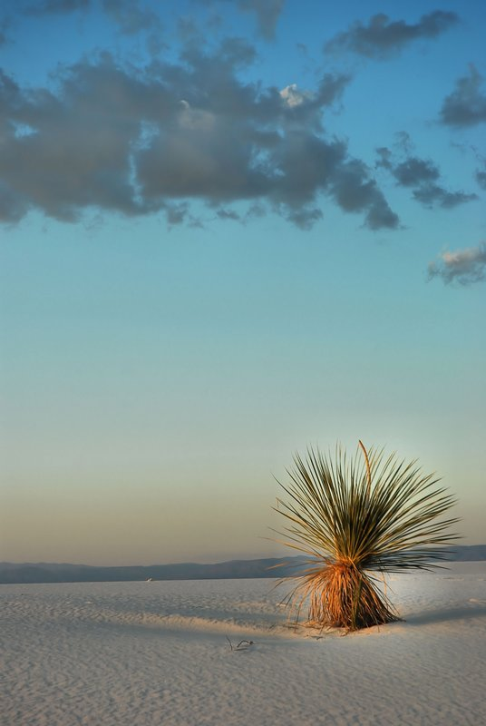 WS-11.jpg :: Known as the Yucca Soaptree variety, it elongates its stem to keep it above the sand and grows upward of a foot per year.