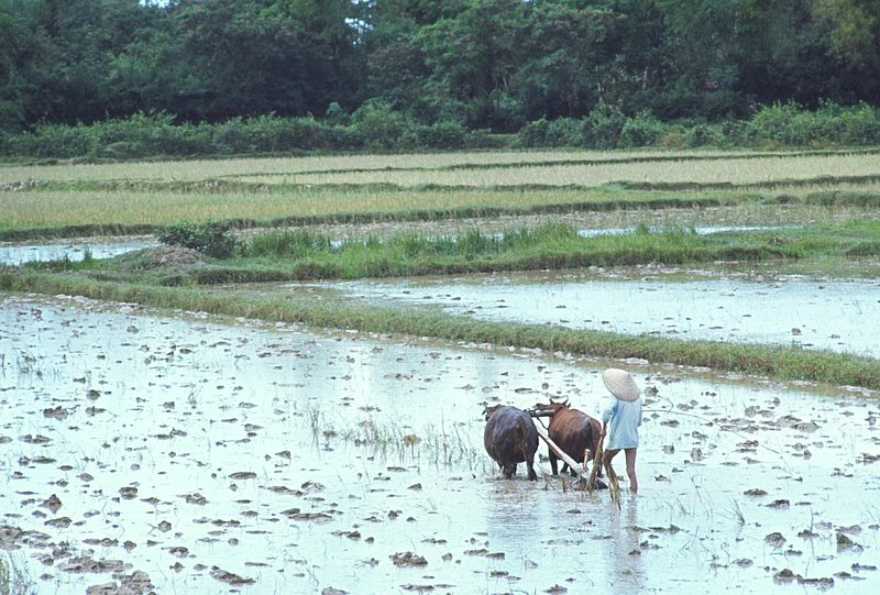 Delta Rice Paddie.jpg :: Paddy fields are the feature of rice farming in Southeast Asia. They require a great deal of labor and need large quantities of water for irrigation. Oxon and Water buffalo adapted for life in the wetlands are important animals used extensively.