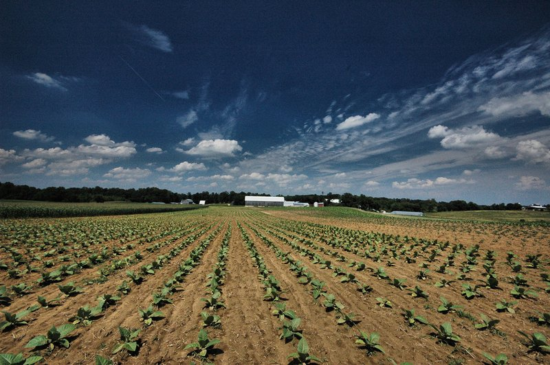 Tobacco Field  MD.jpg :: Tobacco Farm in Southern Maryland