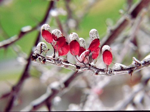 Bird Berries.jpg