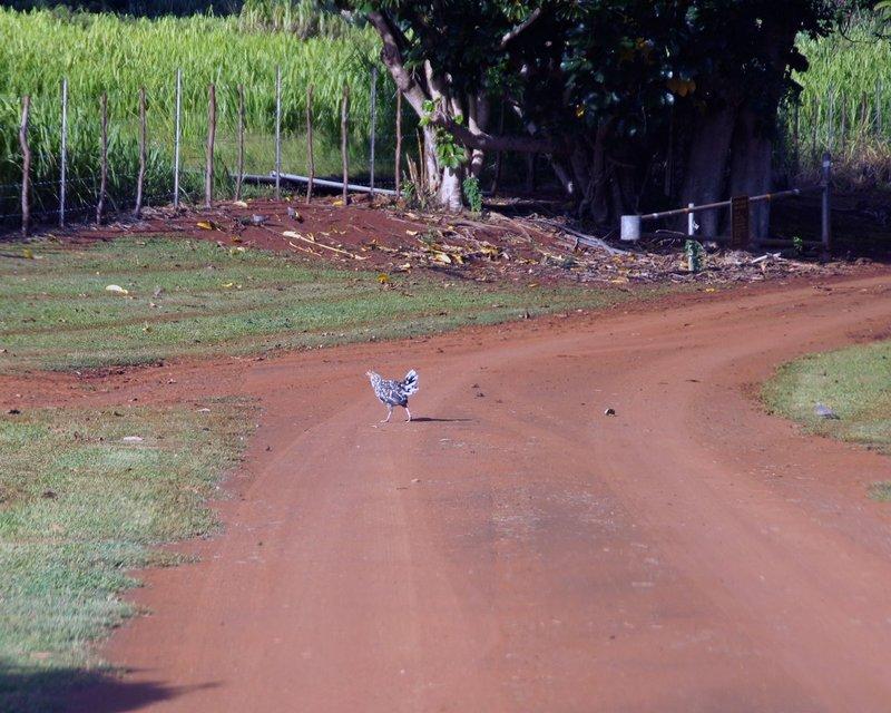Chicken Crosses Road.jpg :: SONY DSC