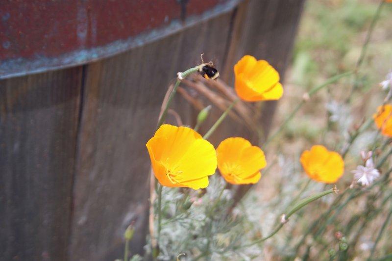 Harmony Bee.jpg :: SONY DSC