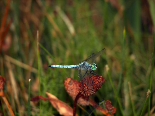 dragonfly 01.jpg