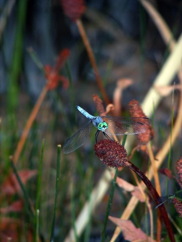 dragonfly 021.jpg