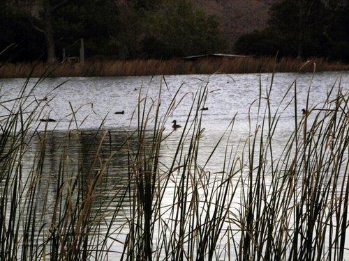 ducks swimmng 06.jpg