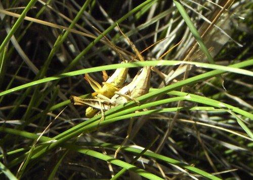 mating grasshoppers.jpg