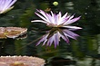 Dragonfly reflection from lotus blossum.jpg