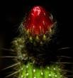 Flower bud of Echinopsis Crassicaulis.jpg