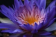Indian Lotus 180mm macro f16  1 20th.jpg