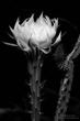 Reina De La Noche Flower.jpg