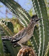 Roadrunner perched on cactus.jpg