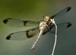 Widow Skimmer dragonfly.jpg