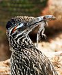 Roadrunner preying on an Ornate Tree Lizard.jpg