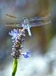 Blue DragonFly c1.jpg