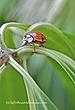 Ladybug312.jpg