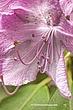 PinkFlower 8x12 1992_2.jpg