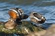 Mirrored Harlequin Ducks.jpg