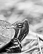 john heinz nwr turtle.jpg