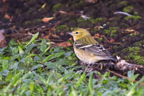 Bay-breasted-Warbler _7188-64.jpg