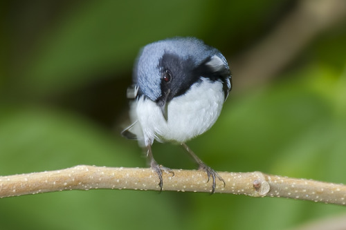 Black-throated-Blue-Warbler_7157-64.jpg