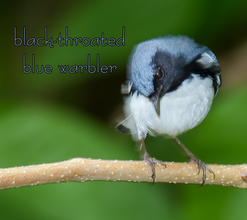 Black-throated-Blue-Warbler_7157txt-64.jpg