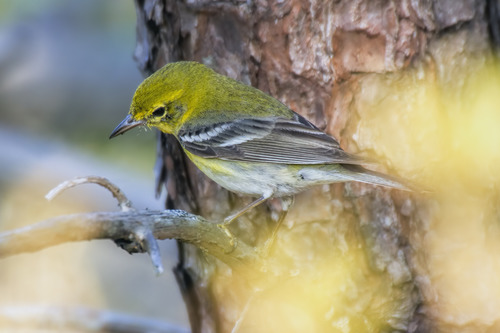 Black-throated-green-warbler_2256-64.jpg