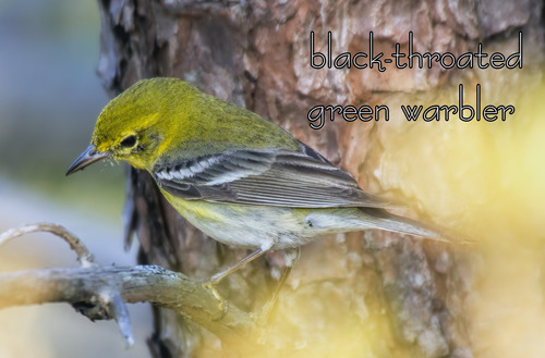 Black-throated-green-warbler_2256txt-64.jpg