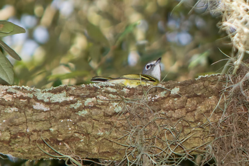 Blue-headed-Vireo_9415-64.jpg