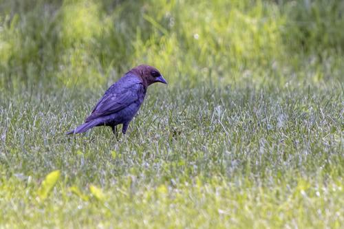 Brown-headed-Cowbird_5193-64.jpg