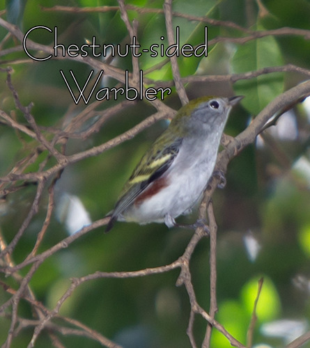 Chestnut-sided-Warbler_7785t-64.jpg