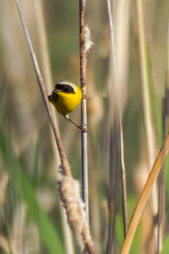 Common-Yellowthroat_5549-46.jpg
