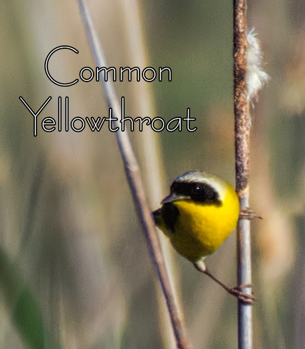 Common-Yellowthroat_5549t-64.jpg