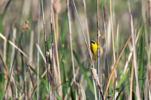 Common-Yellowthroat_5550-64.jpg