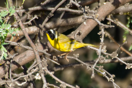 Common-Yellowthroat_5551-64.jpg