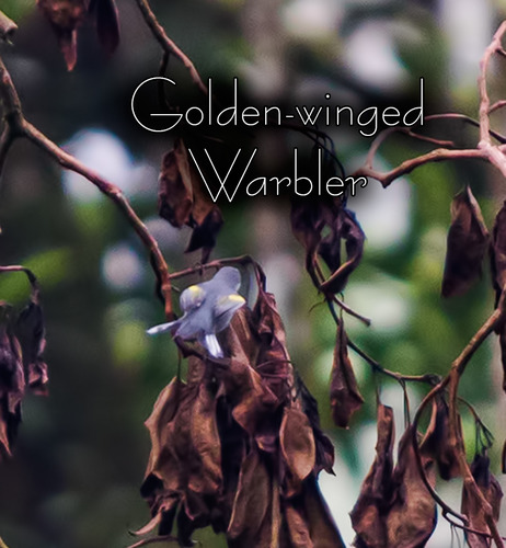 Golden-winged-Warbler_7978t.jpg