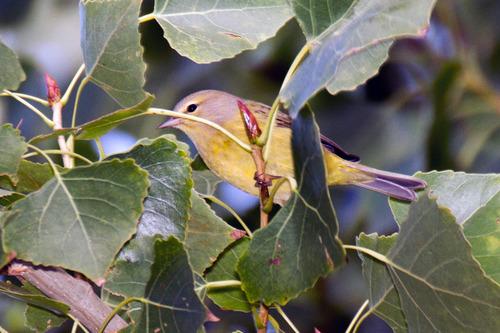 Orange-crowned Warbler_1117-64.jpg