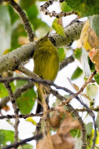Orange-crowned-Warbler_0543-46.jpg