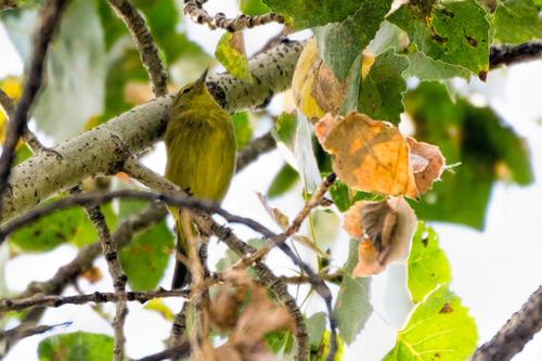 Orange-crowned-Warbler_0543-64.jpg