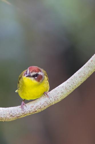 Rufous-capped-Warbler_7043-46.jpg